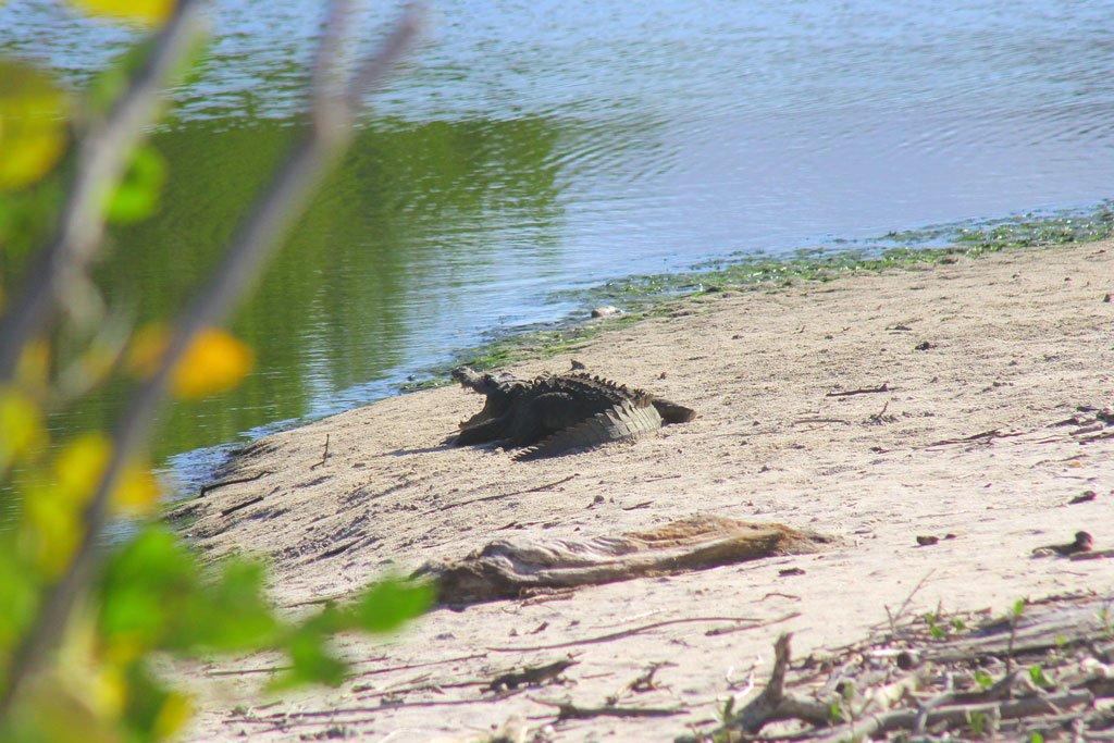 Crocodrilo en la playa